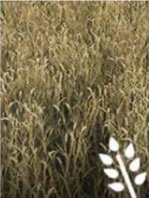 image-Пшеница
