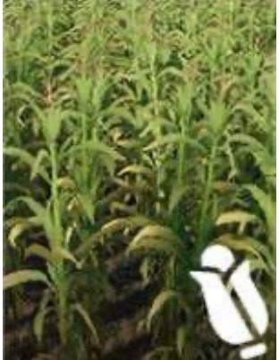 image-кукуруза